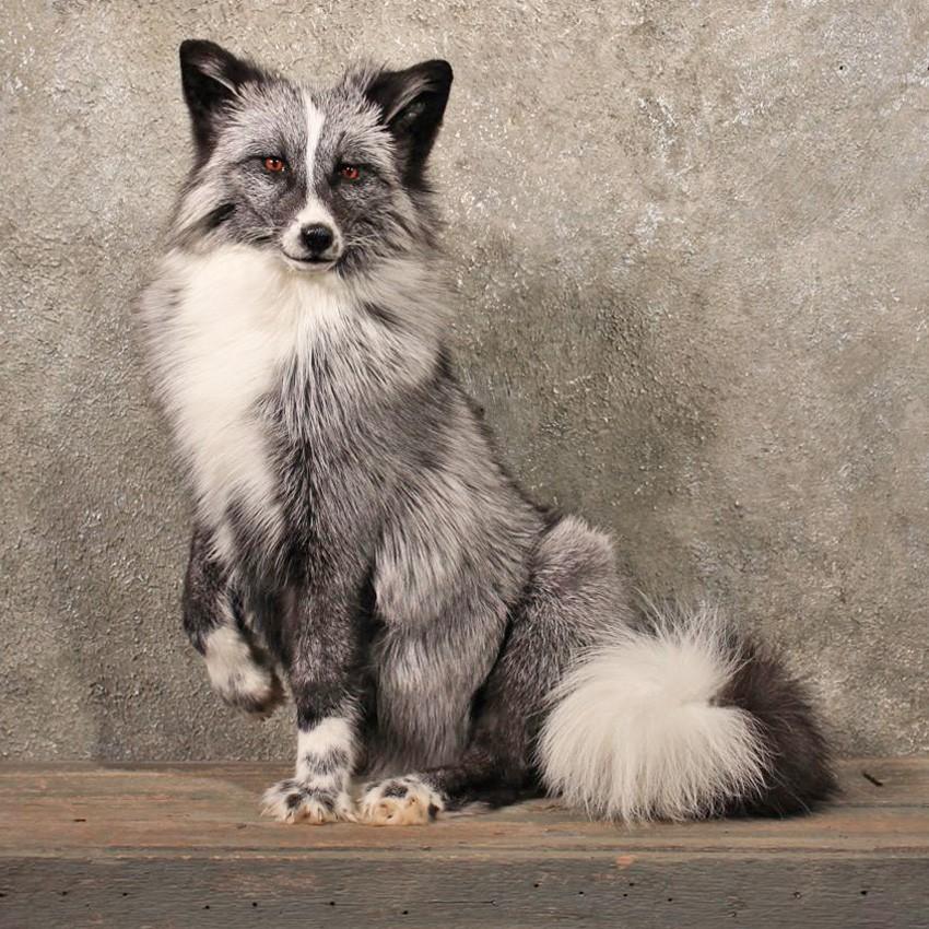 image 11102 xq silver whitemark marble fox taxidermy mount jpg