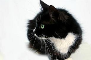 Tuxedo Cat...