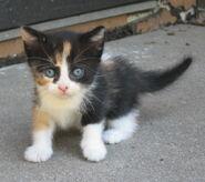B calico kitten 5 weeks old by bluetrillium
