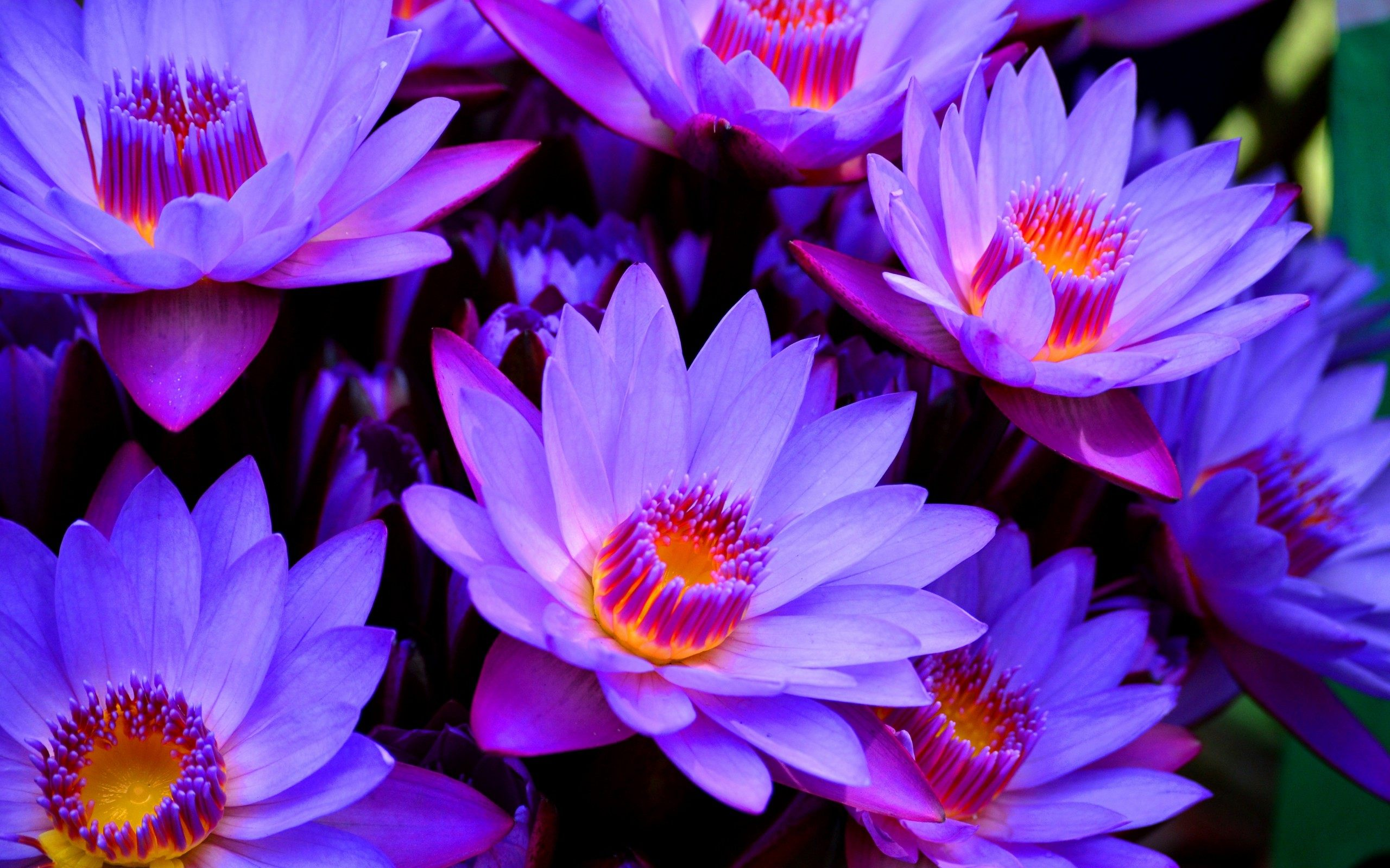 Lotus flower history - Purple Lotus Flower Wallpaper Photo Jpg