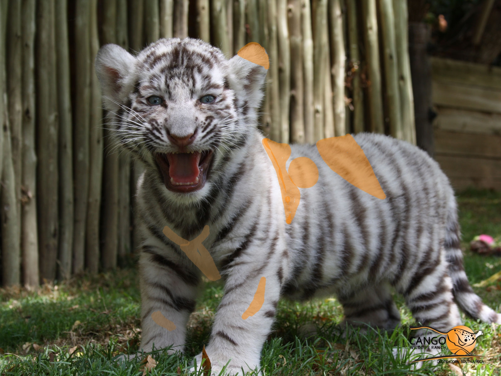 image - cute-white-tiger-cubs-wallpaper-4 | animal jam clans