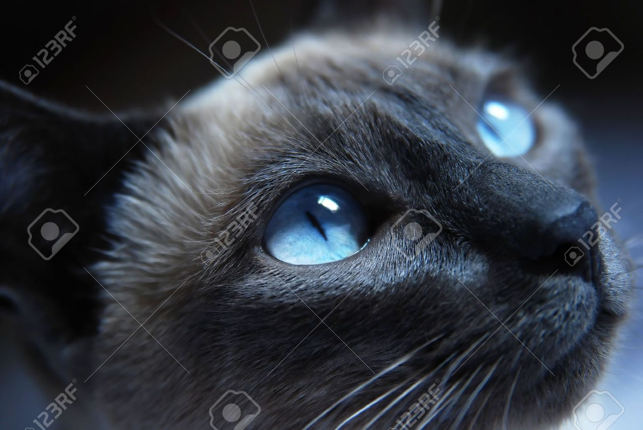 Image CloseuptoSiamesecatwithblueeyesStockPhoto - 24 detailed close ups of animal eyes
