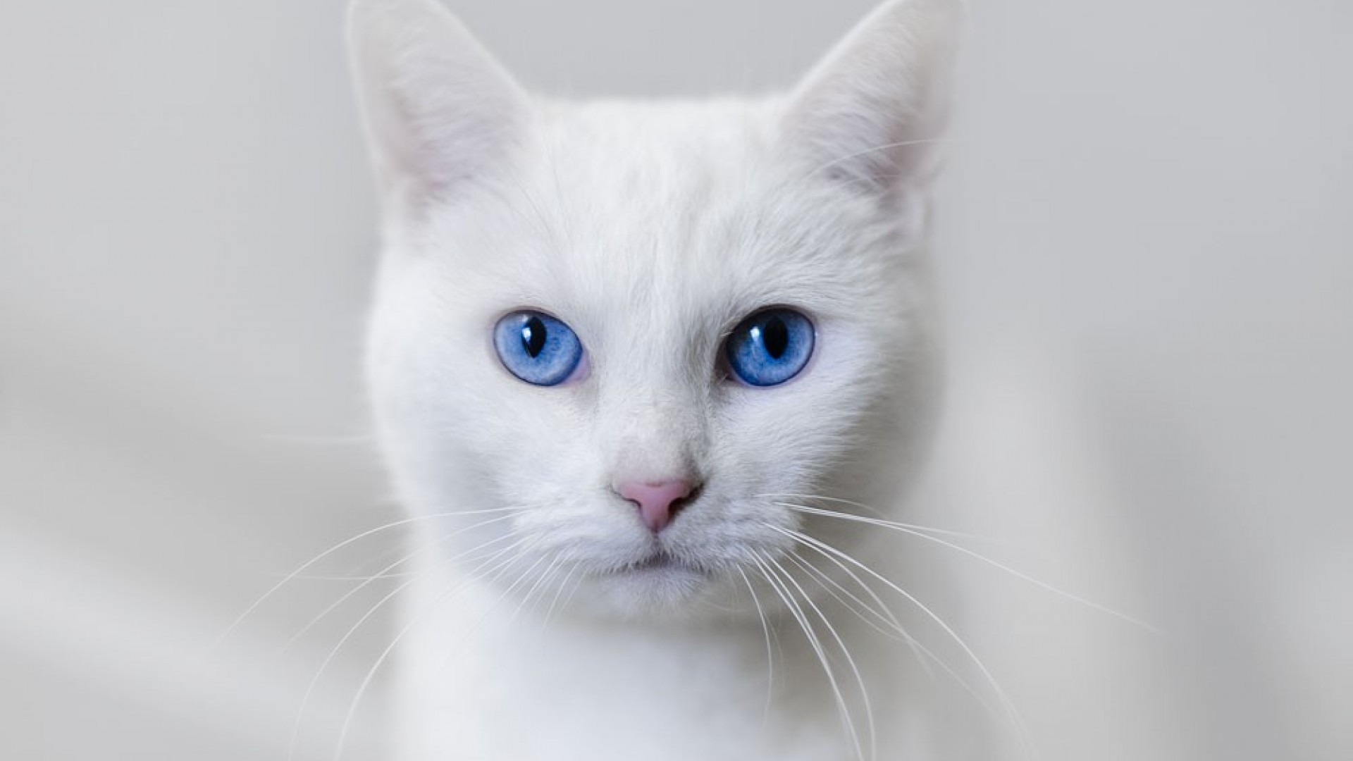A Beautiful White Cat With Big Blue Eyes Image