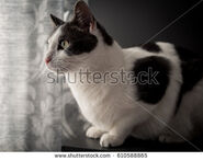 Stock-photo-gray-and-white-spotted-cat-looking-towards-the-window-610588865