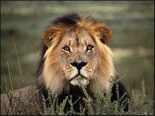 Male-lion-picture