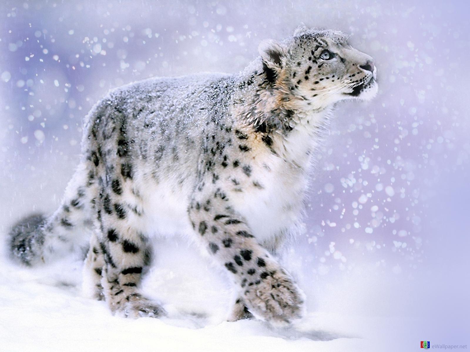 image - snow-leopard-wallpaper | animal jam clans wiki | fandom