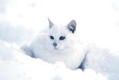 White-cat-snow-22501032