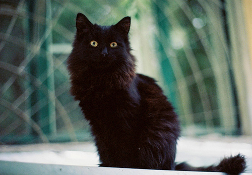 Black Fluffy Cat With Yellow Eyes