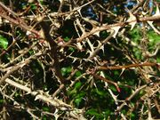 Bramble Twigs