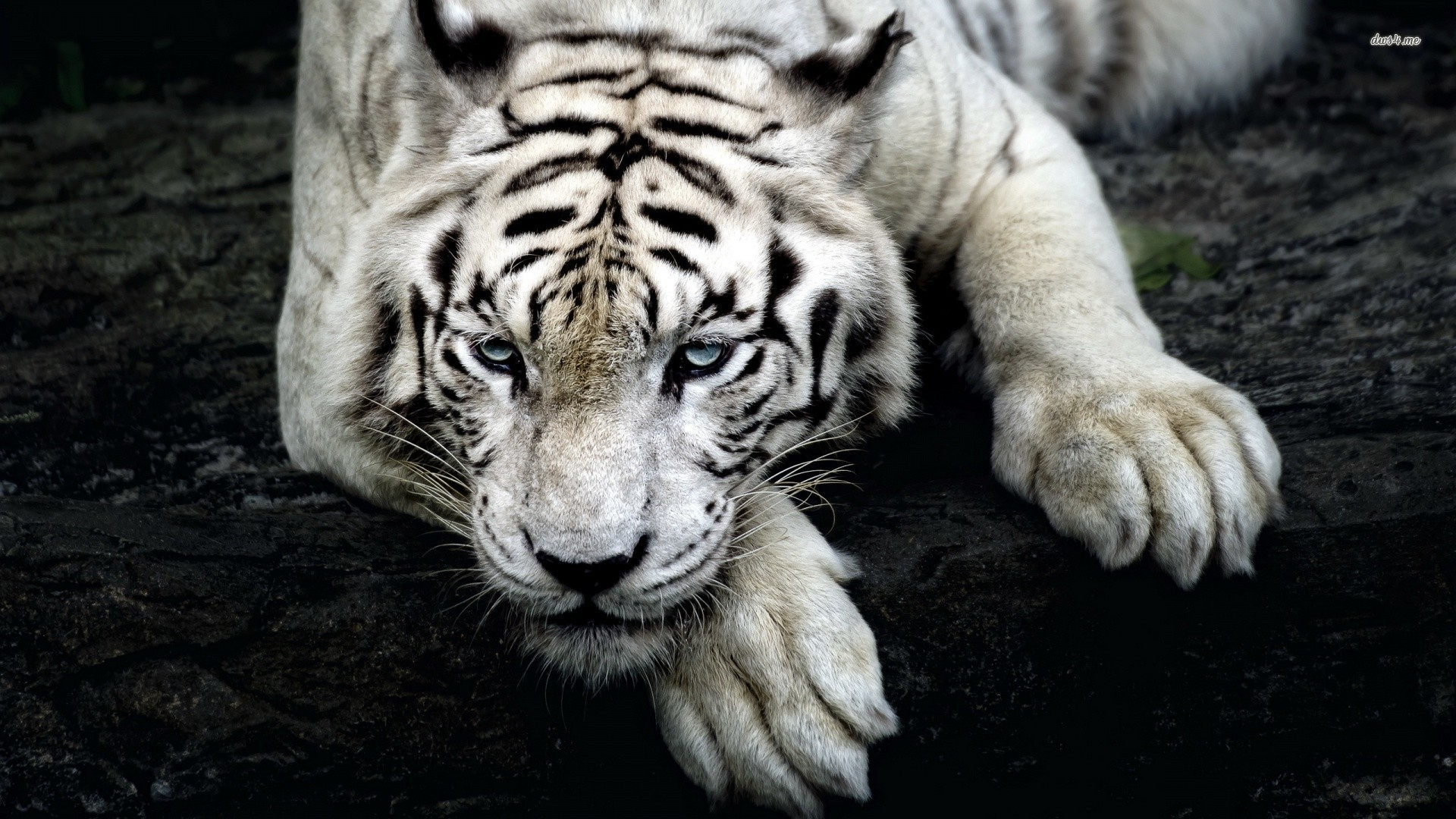White Tiger Cool Backgrounds Wallpapers
