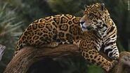 Jaguar Medic