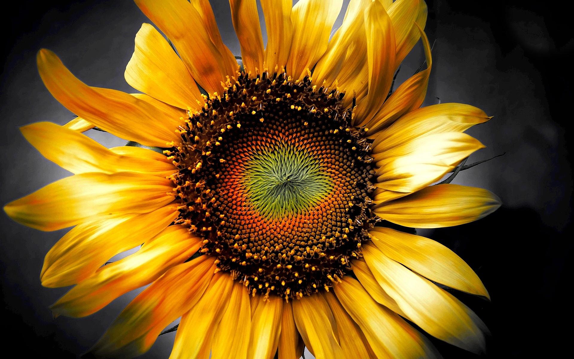 Sunflower-art-3d.jpg