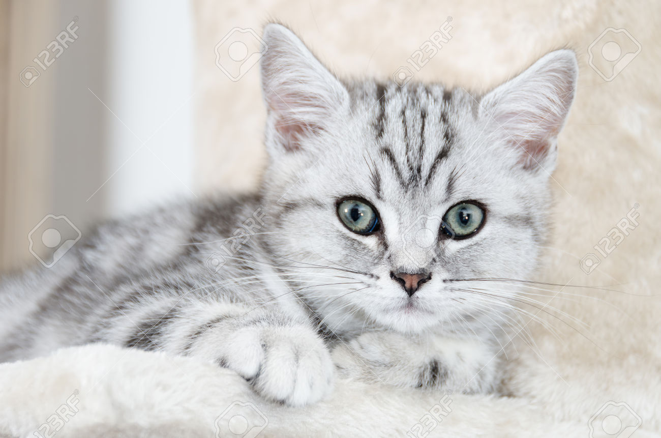 image 27861438 british shorthair silver tabby cat looking stock