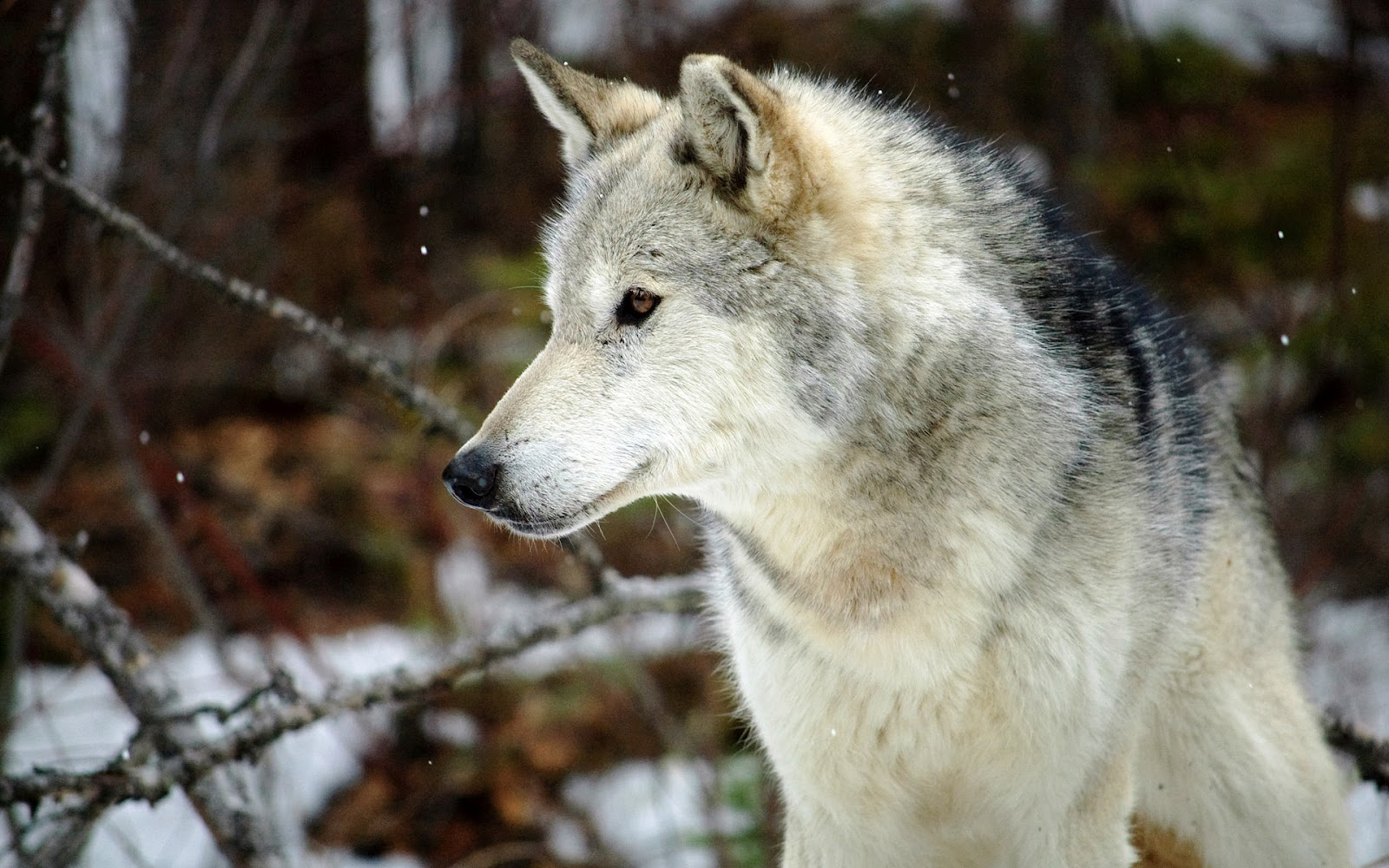 Gray Wolf Wallpaper Images Free Cool Wallpapers 3