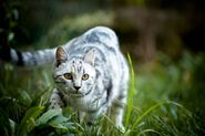 White-Toyger-Cat-Outside-Picture