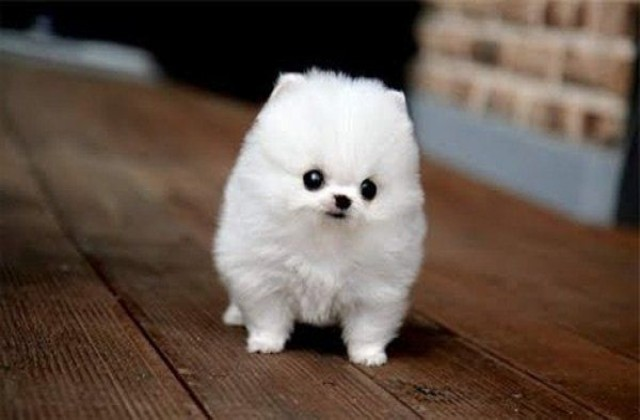 Image medium terms cute small fluffy dog breeds cute for Fluffy little dog breeds