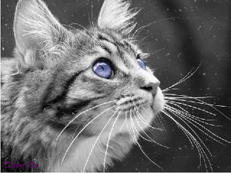 image silver tabby she cat with blue eyes brown tabby cat with