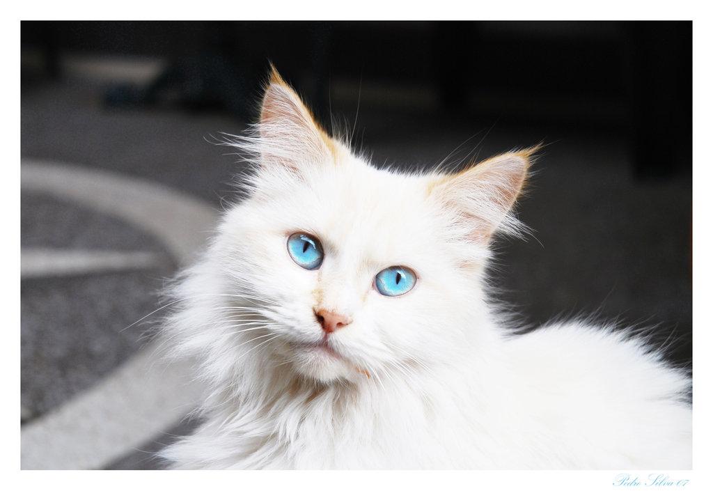 latest?cb=20170211131516 image white cat blue eyes jpg animal jam clans wiki fandom