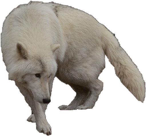 Image - Arctic wolf precut by wolflover10122-d527450.png ...