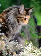 F5909962d8d72b0717b9bfdcbc079488--maine-coon-cats-beautiful-cats