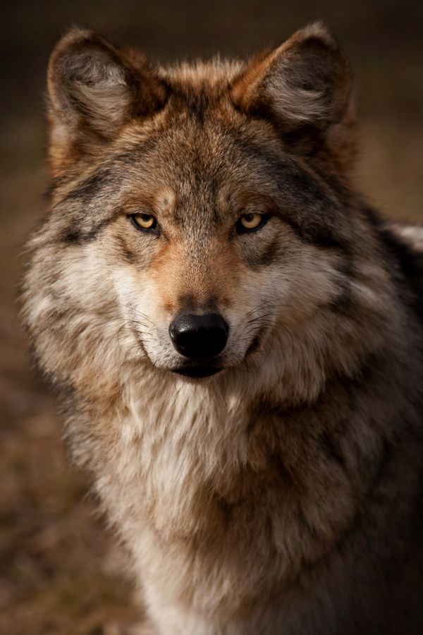 Golden Brown Wolf With Blue Eyes Image - Owl mean wolf....