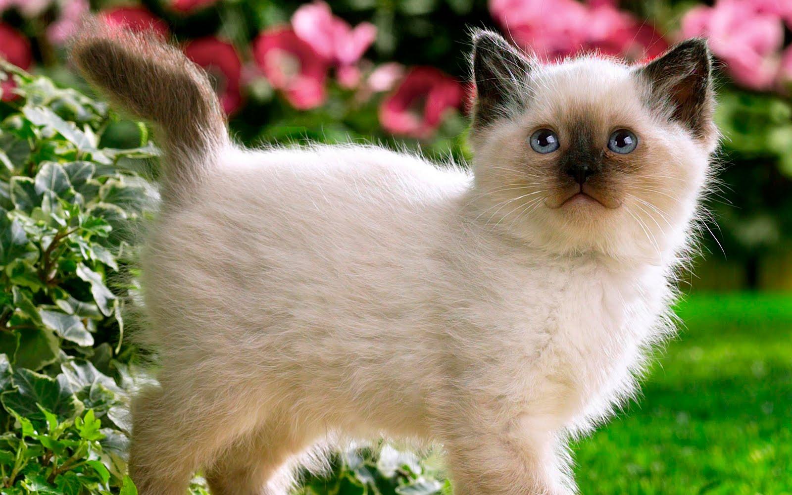 Image Siamese kittens for adoption