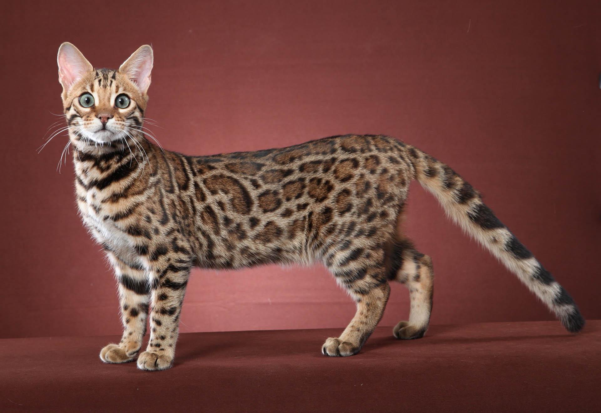 Image - Bengal-cat-wallpaper.jpg   Animal Jam Clans Wiki   FANDOM ...