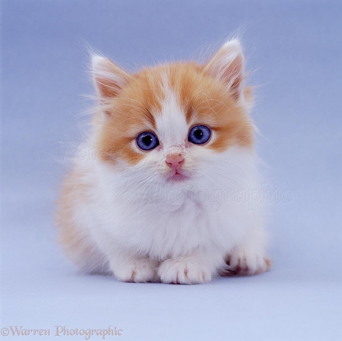 02399-Blue-eyed-ginger-and-white-kitten-on-blue-background.jpg