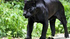 Black-panther-scouting-desktop-background