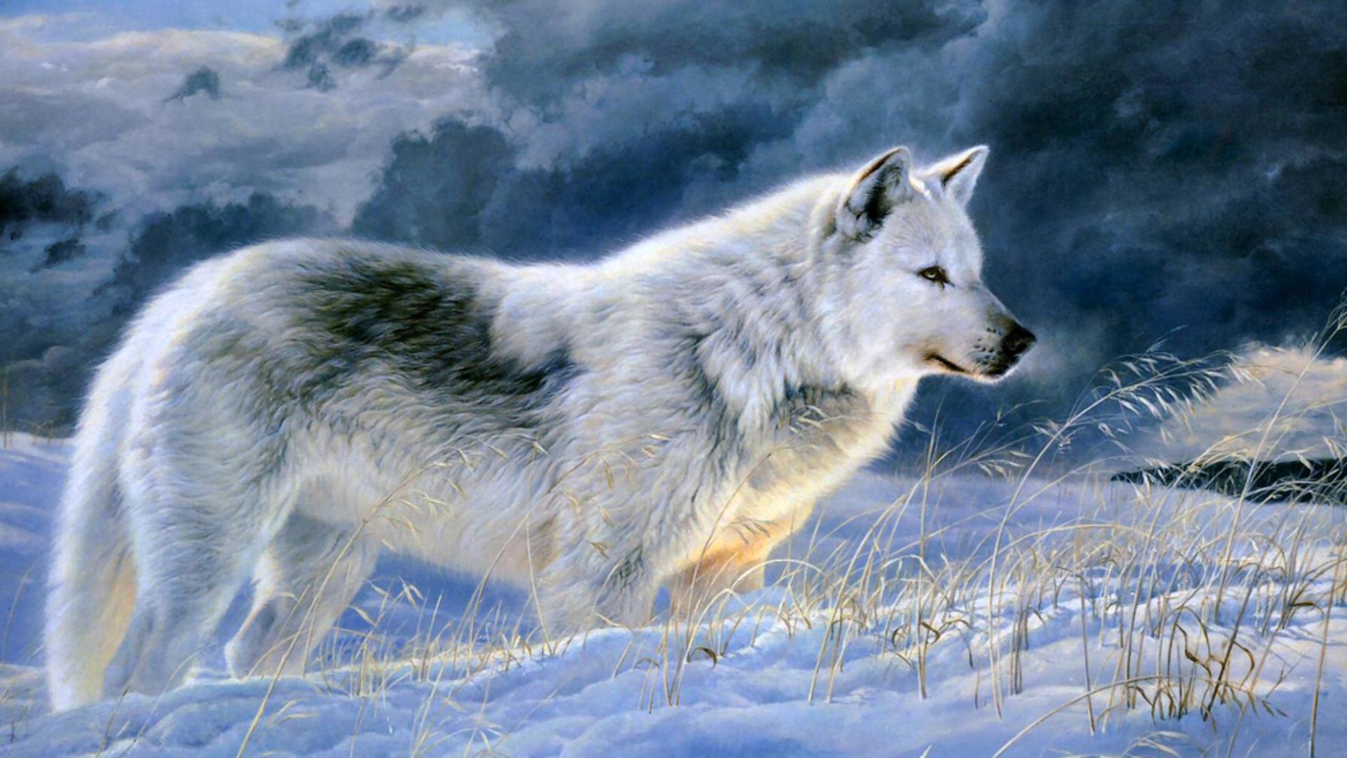 Gray Wolf Wallpaper 3