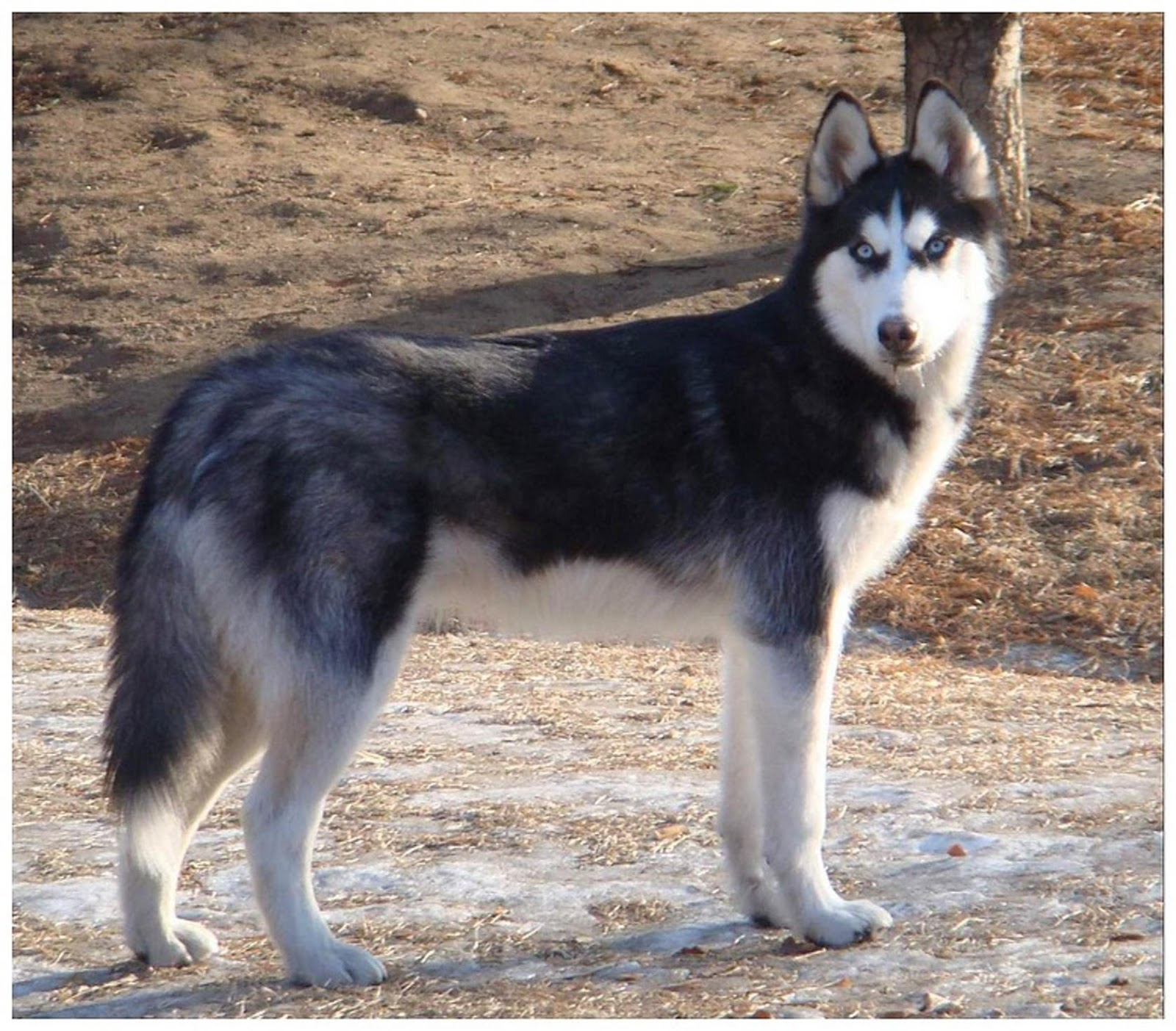 Siberian Husky Red Wolf Mix Photo - Happy Dog Heaven  |Black Siberian Husky Wolf Mix