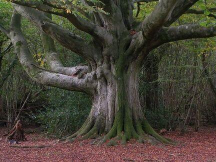 91a3b3e2b59ee3fda3e9r4e96908e313f6--beech-tree-fig-tree
