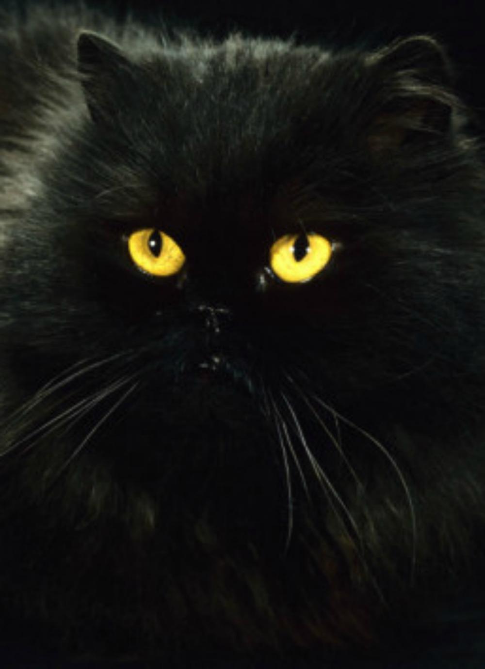 Black cats persian wiki
