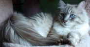 Siberian-cats-2-years-old-in-different-colors-and-blu-eye-s-americanlisted 49930033