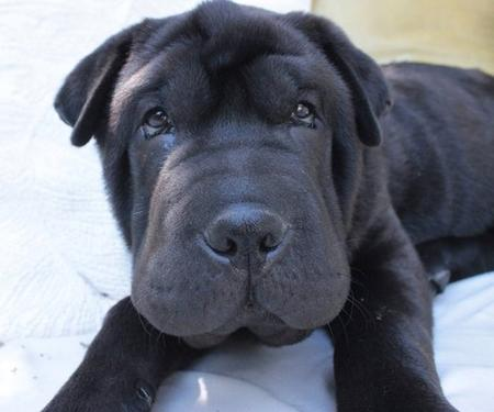 Shar Pei Mastiff Mix Puppies For Sale - Goldenacresdogs.com