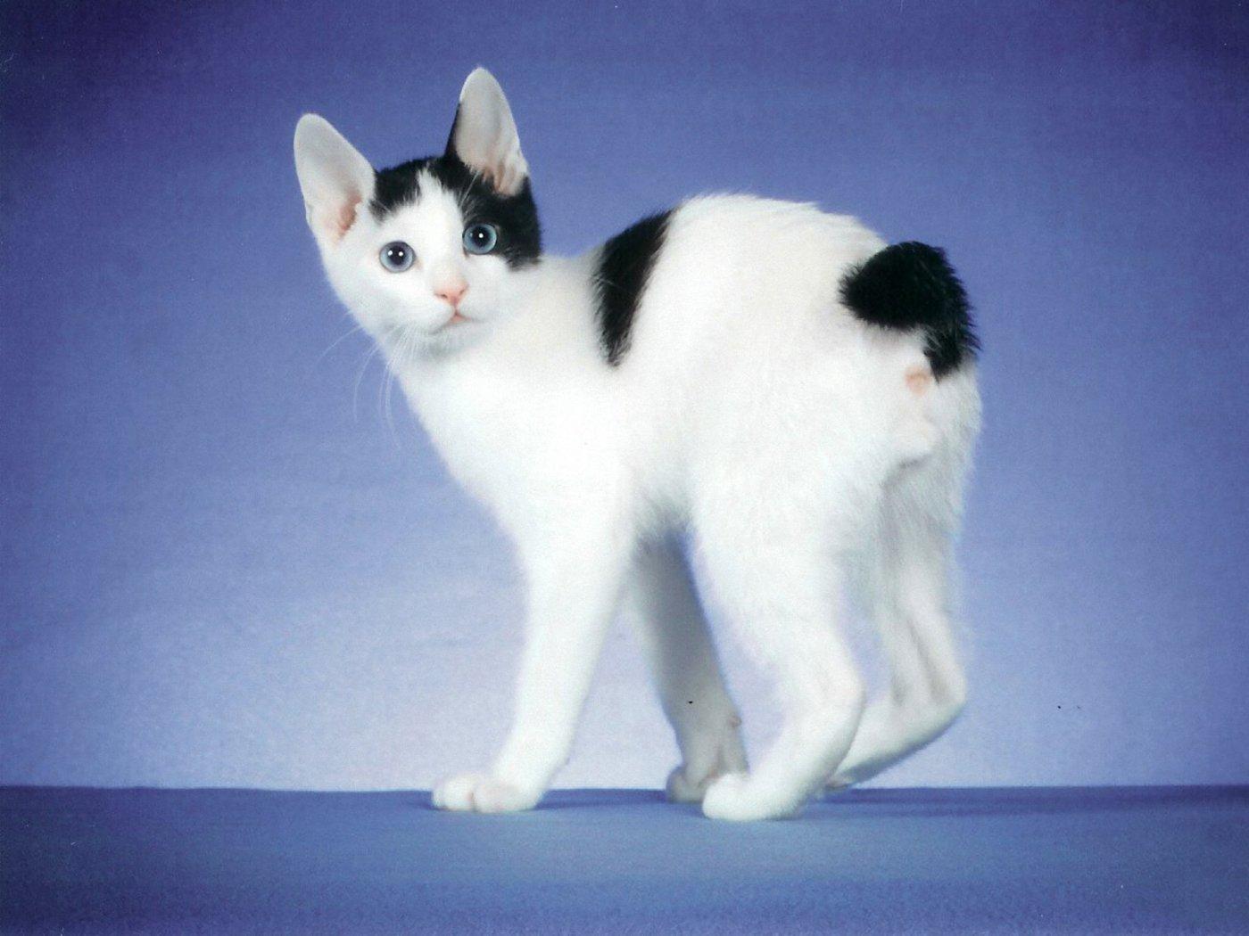 Image Black And White Japanese Bobtail Kitten Looking At Camera