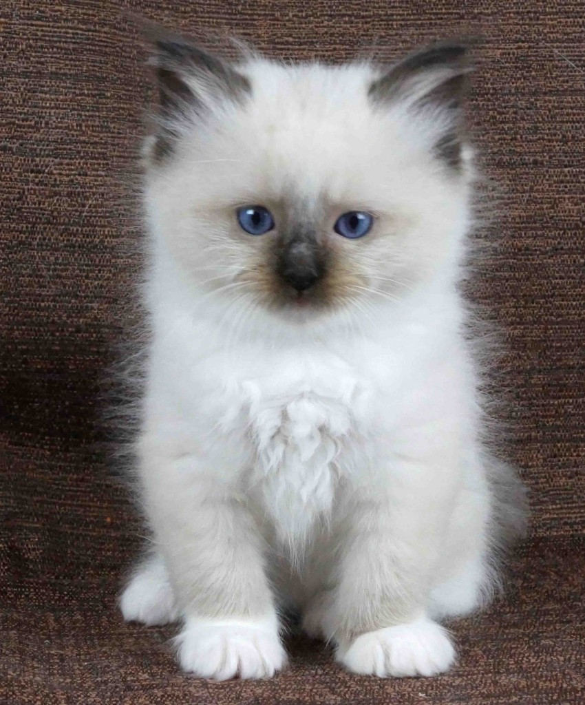 Image Cat breeds rag doll cats pictures white fluffy cats with