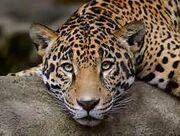 Leopard the co-deputy