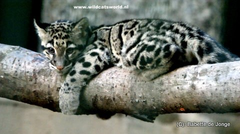 image clouded leopard cub jpg animal jam clans wiki fandom