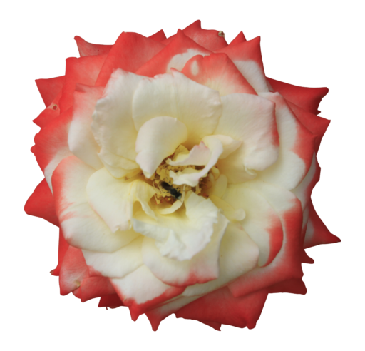 Image rose flower white center red petals sides double colored rose flower white center red petals sides double colored transparent background wild garden beauty 512x492g mightylinksfo