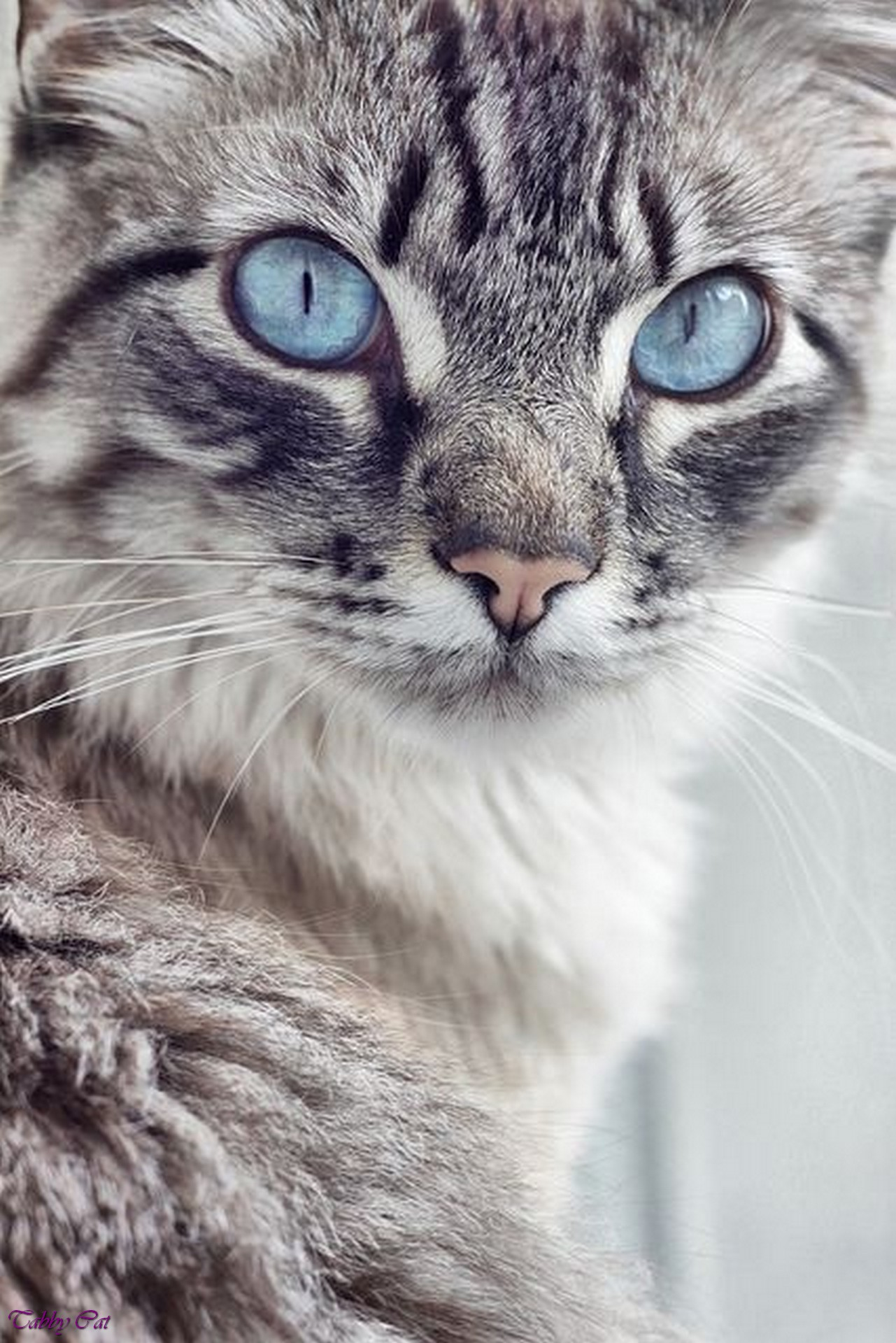 Gray Tabby Cat With Blue Eyes | Cute Cats