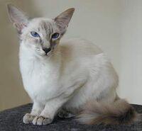 Javanese-cats-01