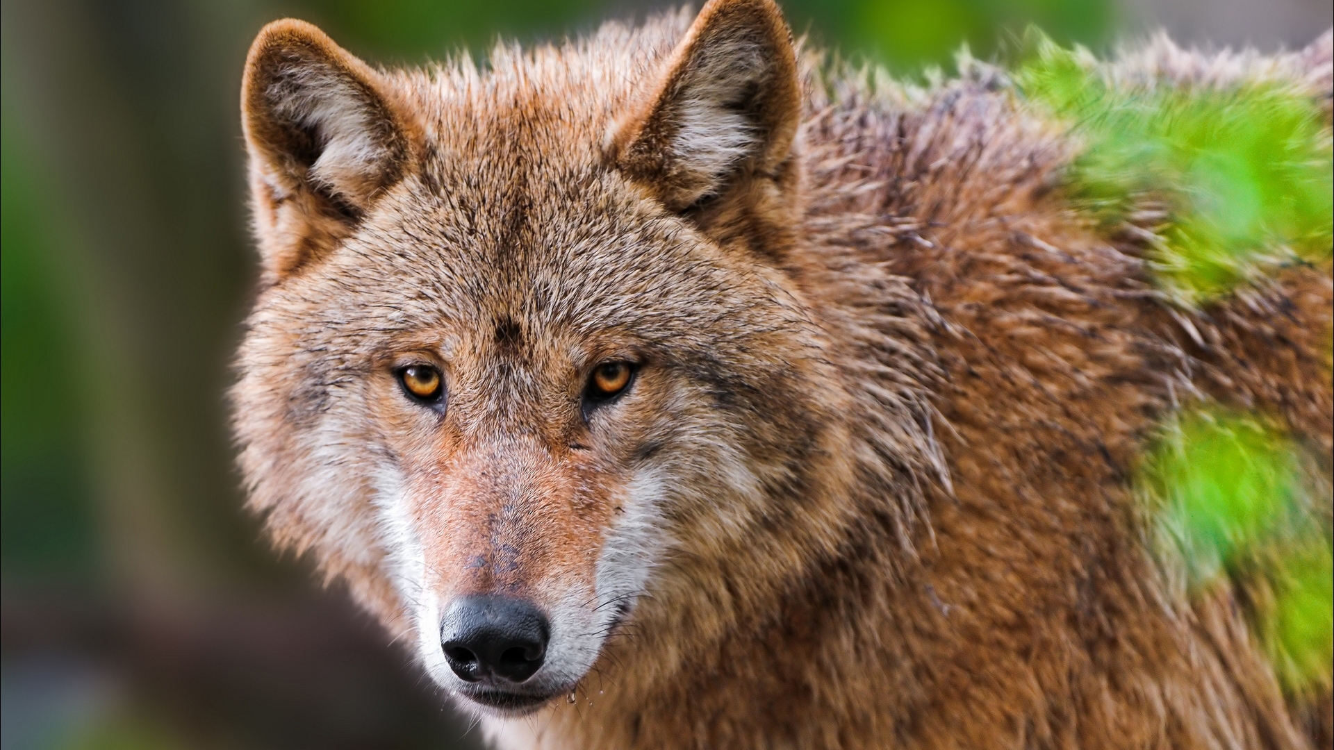 Image result for brown wolf