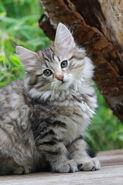 Norwegian-forest-cats-kittens-3