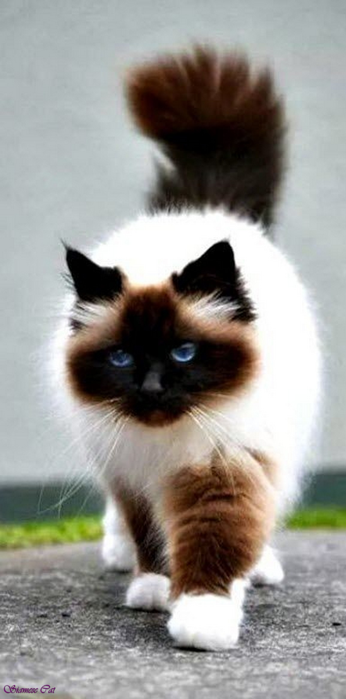 Fluffy Siamese Cat Black Siamese Cat With Blue Eyes Siamese Mix Cats Grey Himalayan Siamese Cat Mix Lilac Point Siamese Cats  Jpg