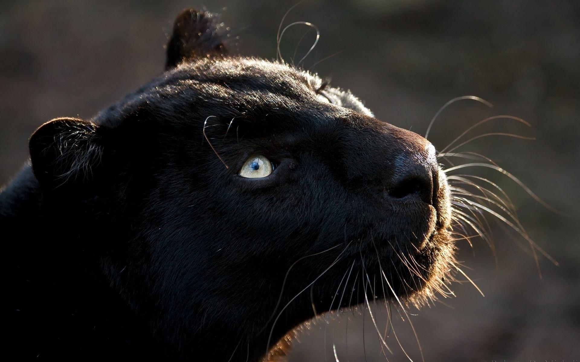 image - free-black-jaguar-animal-wallpaper | animal jam clans