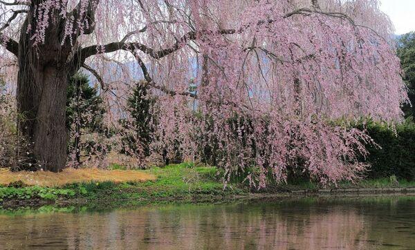 SakuraClan Banner 4