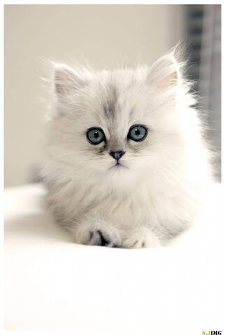 Image - Cute-White-Teacup-Persian-Cat-With-Blue-Eyes.jpg | Animal ...