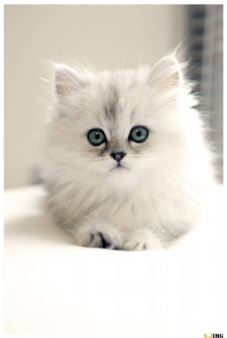 Cute-White-Teacup-Persian-Cat-With-Blue-Eyes.jpg