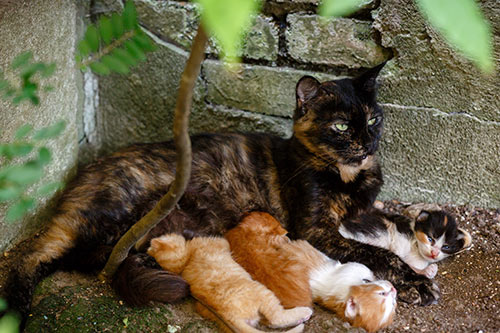 Undesexed-female-stray-cat-with-big-litter-of-kittens-outside-stray-kitten-cat-overpopulation